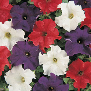 Dreams Patriot Mix Petunia