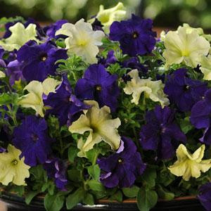 Fuseables® Blueberry Jam Petunia