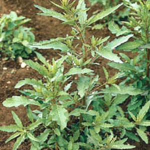 Organic Epazote Herb