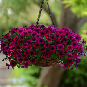 Shock Wave® Deep Purple Trailing Petunia