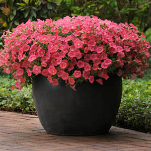 Shock Wave® Coral Crush Trailing Petunia