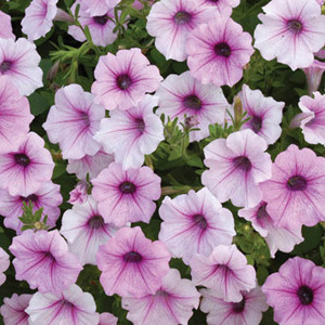 Shock Wave® Pink Vein Trailing Petunia