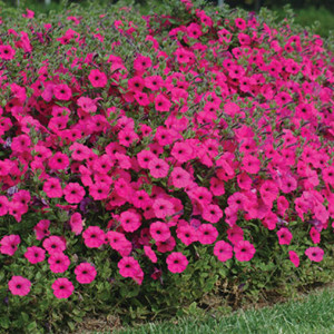 Tidal Wave® Purple Trailing Petunia