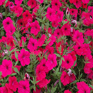 Tidal Wave® Cherry Trailing Petunia