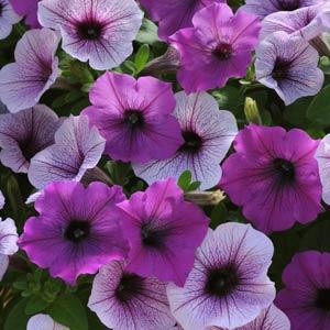 Easy Wave ®Plum Pudding Mix Trailing Petunia