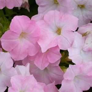 Easy Wave ® Shell Pink Trailing Petunia
