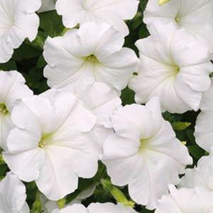 Easy Wave ® White Trailing Petunia