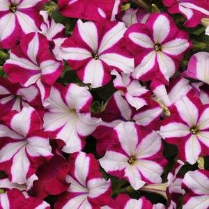 Easy Wave ® Burgundy Star Trailing Petunia