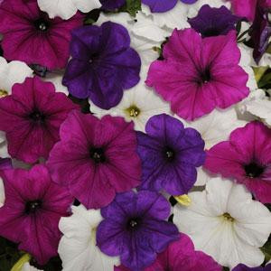 Easy Wave ® Great Lakes Mix Trailing Petunia