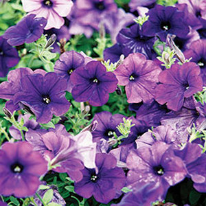 Easy- Wave ® Blue Trailing Petunia