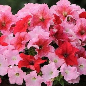 Fuseables Strawberry Wine Petunia