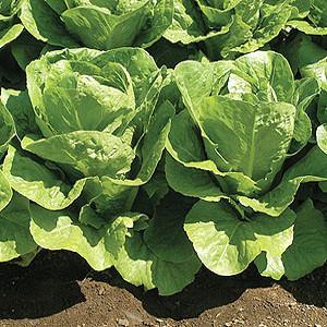 Organic Lettuce Seeds, Romaine Parris Island