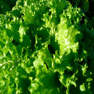 Organic Lettuce Seeds, Waldmans