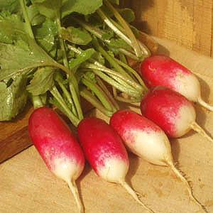 Organic Radish Seeds, French Breakfast