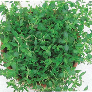 Organic Thyme Herb German Winter