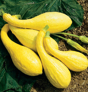 SQUASH DIXIE SUMMER SOUTHERN CROOKNECK