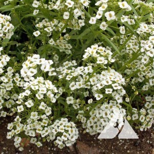 Alyssum, Sweet Wildflower