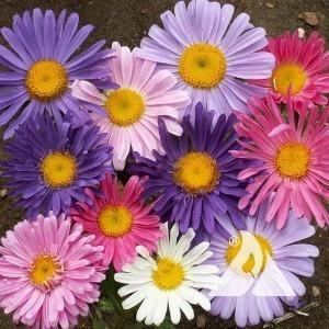 Aster, China Wildflower