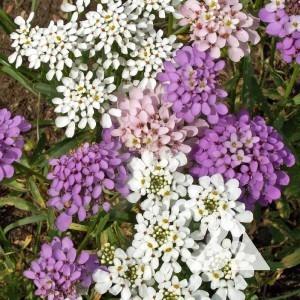 Candytuft Wildflower