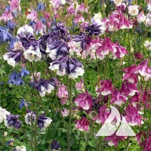 Columbine, Dwarf Wildflower