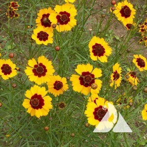 Coreopsis, Dwarf Plains Wildflower