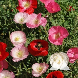 Corn Poppy, Shirley Single Mix Wildflower