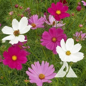 Cosmos Mix Wildflower