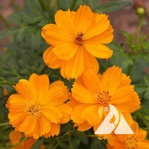 Cosmos, Sulphur/Orange Wildflower