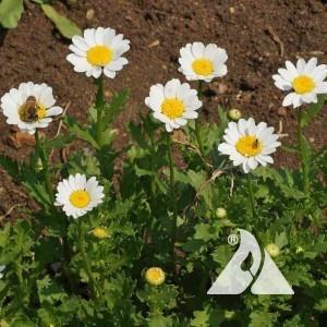 Creeping Daisy Wildflower