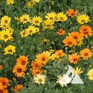 Daisy, African Wildflower