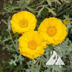 Desert Marigold Wildflower