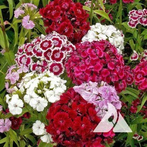 Dianthus, Sweet William Pinks Wildflower
