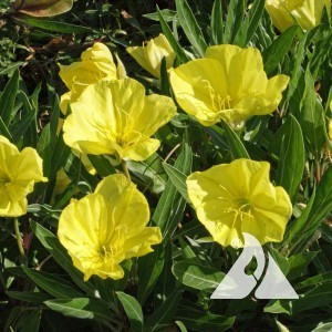 Dwarf Evening Primrose Wildflower
