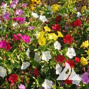 Four O'Clocks Mix Wildflower