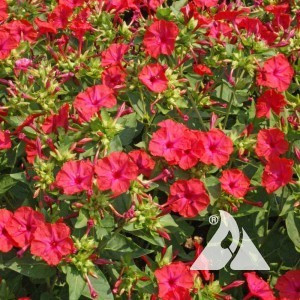 Four O'Clocks, Red Wildflower