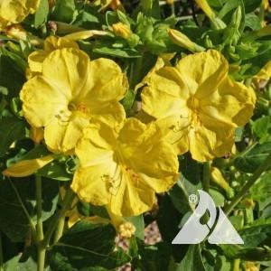 Four O'Clocks, Yellow Wildflower