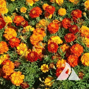 French Marigold, Sparky Wildflower