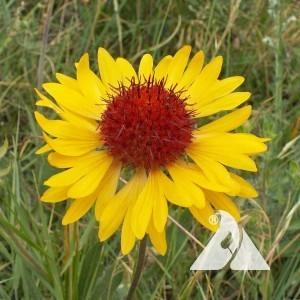 Gaillardia Yellow , Perennial Wildflower