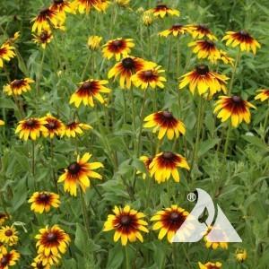 Gloriosa Daisy Wildflower