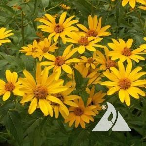 Ox Eye Sunflower Wildflower