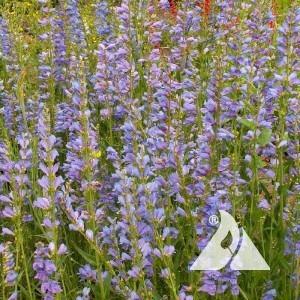 Penstemon, Rocky Mountain Wildflower