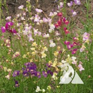 Snapdragon, Northern Lights Wildflower