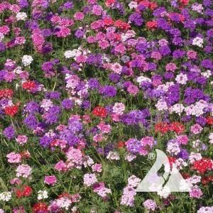 Verbena, Moss Mix Wildflower