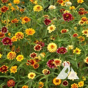 Zinnia, Mexican Persian Carpet Wildflower