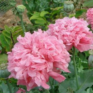 Poppy Peony Double Pale Rose