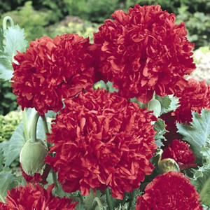 Poppy Peony Giant Double Red