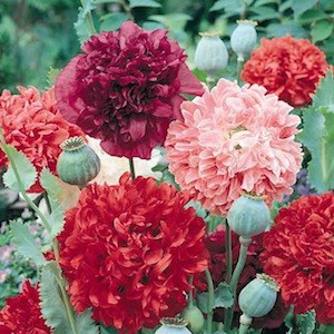 Poppy Peony Giant Double Mix