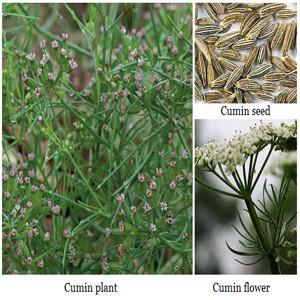Cumin Herb Seeds