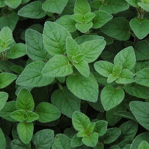 Common Oregano