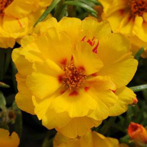 Happy Hour Banana Portulaca
